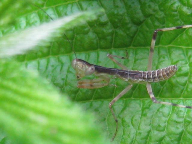 螳螂(カマキリ)