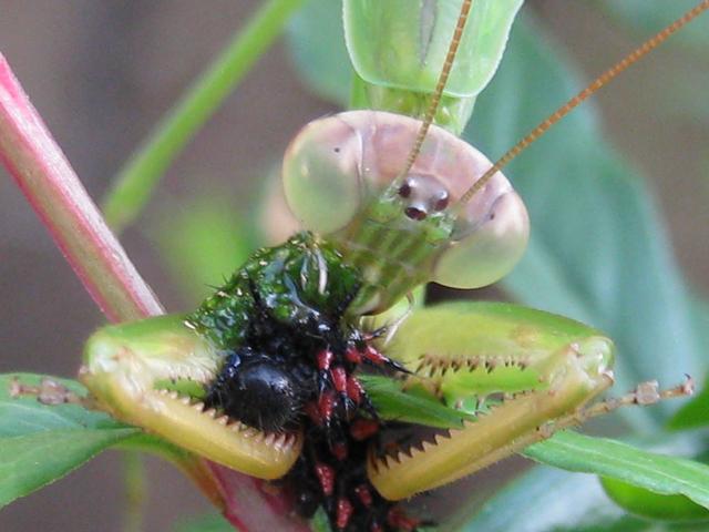 デジカメ写真「大蟷螂?」