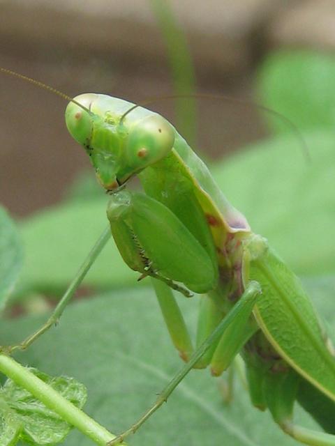 昆虫: 穗蓼庵記