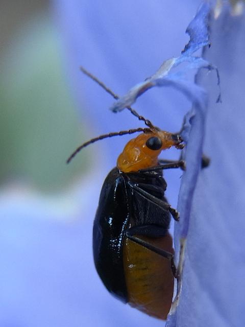 桔梗の花を食べる黒瓜金花虫: 穗...
