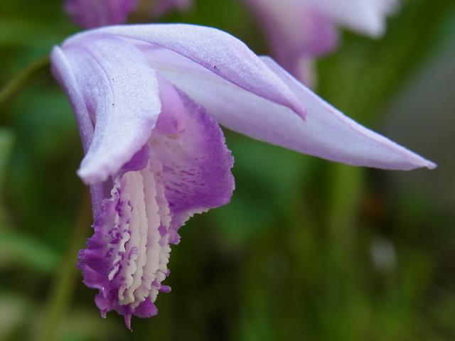 青花紫蘭(アオバナシラン ...